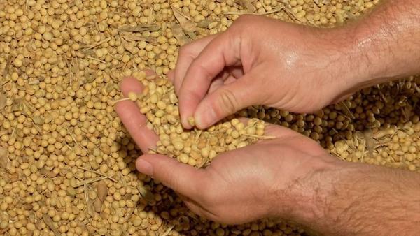Anomalia encontrada em vagem da soja traz prejuízo à produção em MT