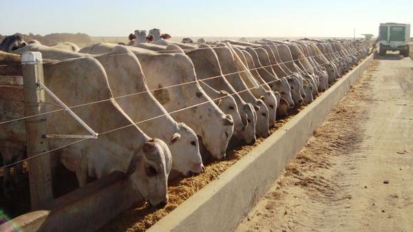 Confinamento de gado em Mato Grosso aumenta 19%; Acrimat prevê mais negócios