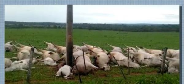 Descarga elétrica mata 40 cabeças de gado em MT