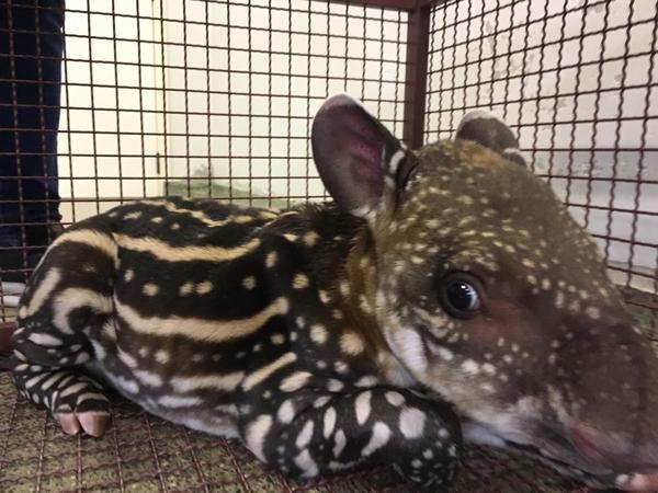 Filhote de anta (cujas listras é uma forma de camuflagem) é capturado às margens da MT 404 e encaminhado para Hospital Veterinário de Sinop