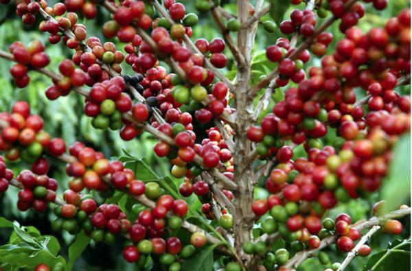 Mato Grosso e Goiás aumentam safra de café; Minas deve ter queda